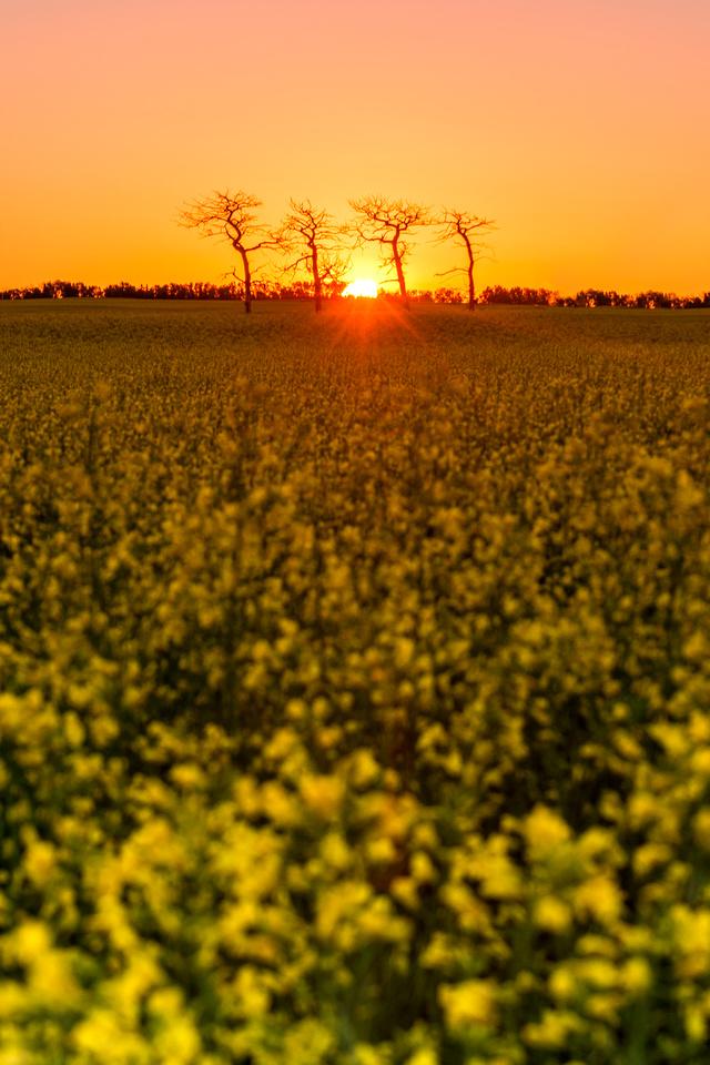 Canola Sunrise